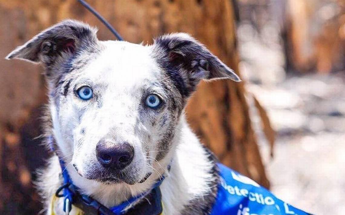 """""""Oso"""": Un Perro Que Rescata Koalas En Australia"""