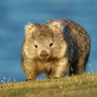Tiernos wombats alojan animales en sus madrigueras
