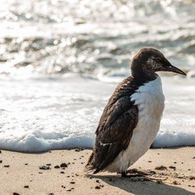 En el Pacífico una mancha de agua caliente provocó la muerte de un millón de aves