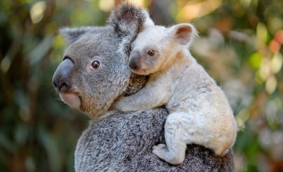 Koala: Especie Más Amenazada Por Incendios En Australia