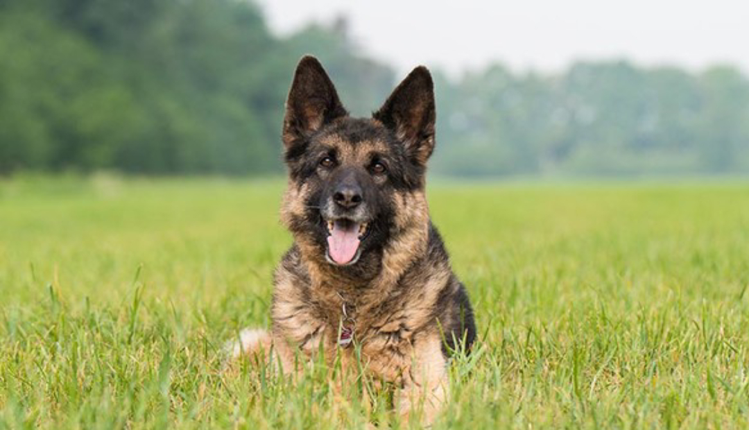 Perros salvan a mujer al detectar que tenía cáncer