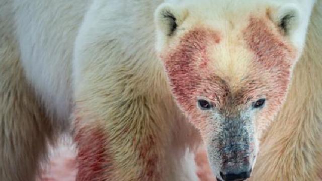 Se han registrado conductas caníbales entre osos (Imagen: Canal12)