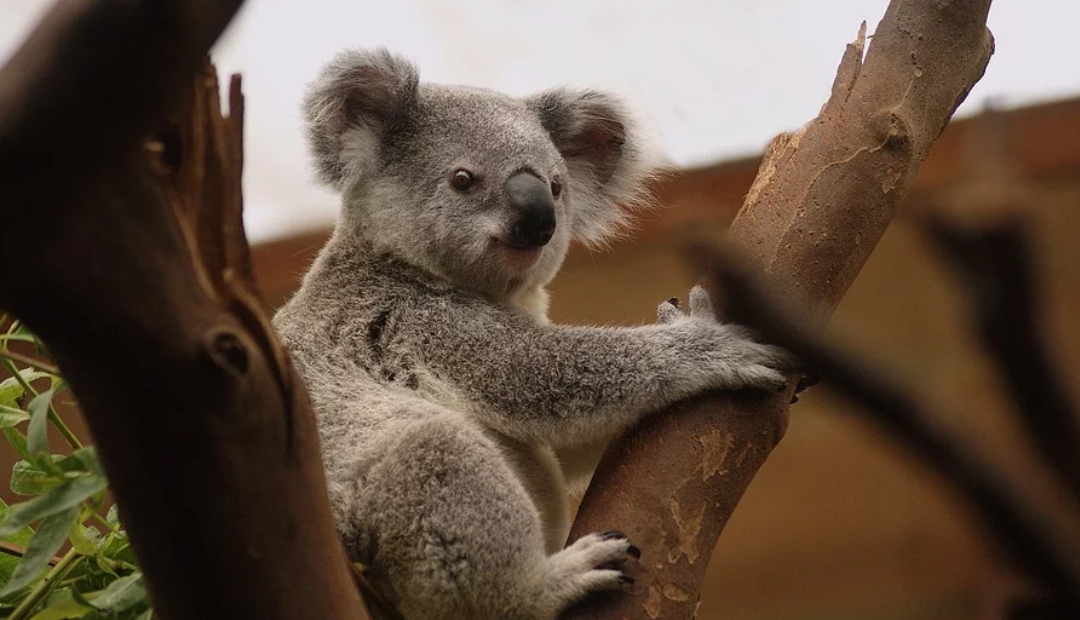 Tras incendios de Australia, 113 especies necesitan ayuda de emergencia.