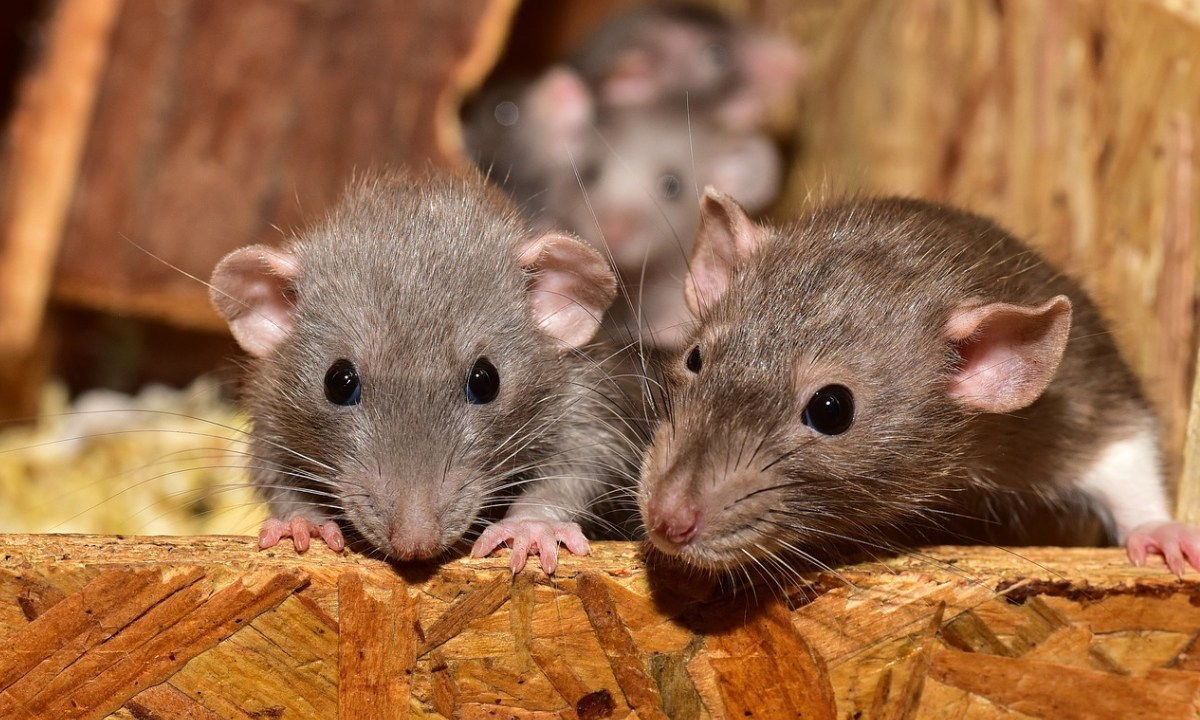 Ratas, Humanos, Ciudad, Evolución
