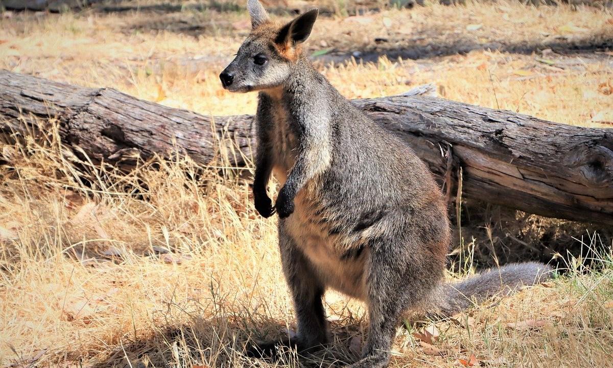Wallaby, Hembra, Embarazada, Australia