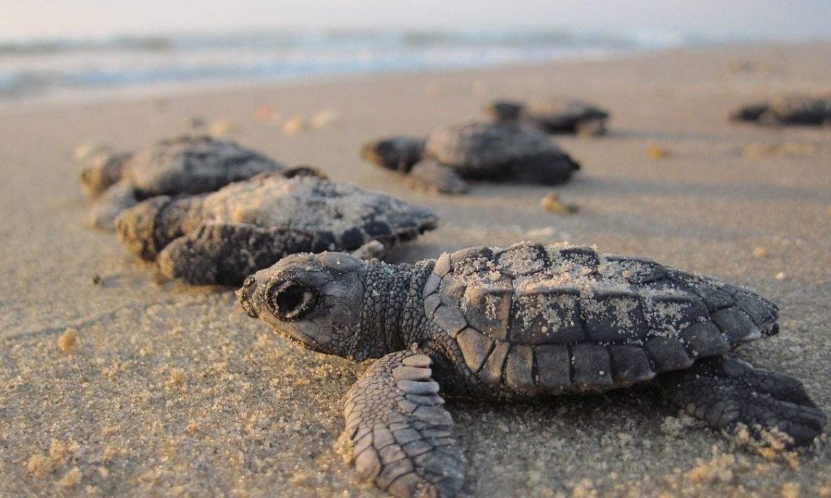 Tortugas, Peligro Extincion, Salvan, Cuarentena Coronavirus