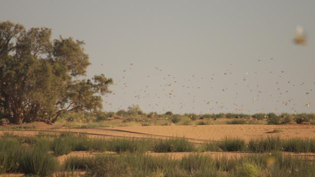 langostas-africa-plaga-hambruna