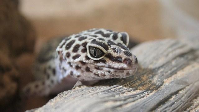 Geckos, Aeropuerto, San Luis Potosi, Trafico Animales