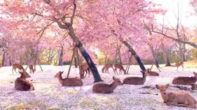 Ciervos, Cerezos, Japon, Contingencia