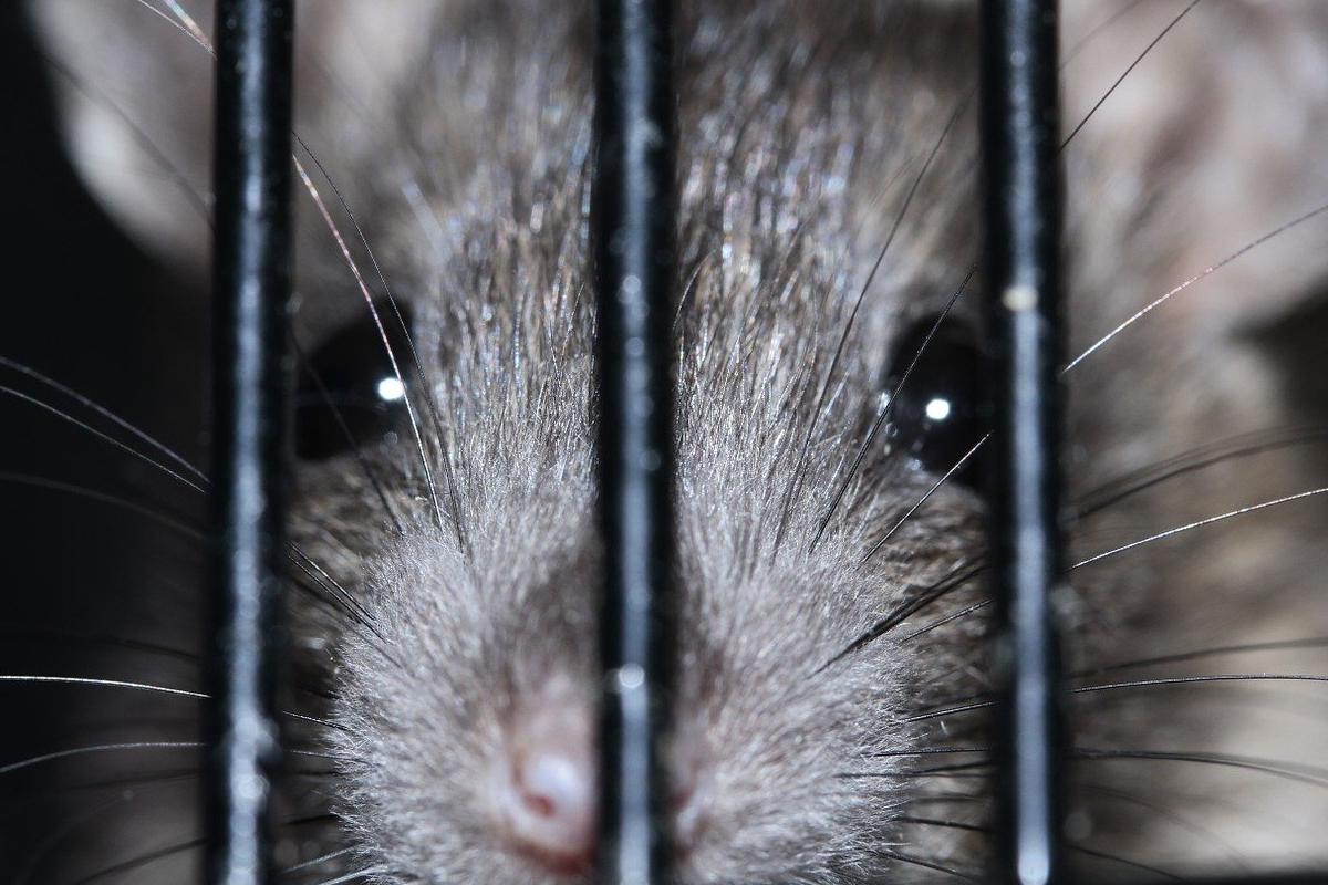 Ratas, Hepatitis E, Hong Kong, Humanos