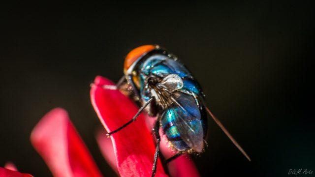 Encuentran abejas azules que se creían extintas en Estados Unidos