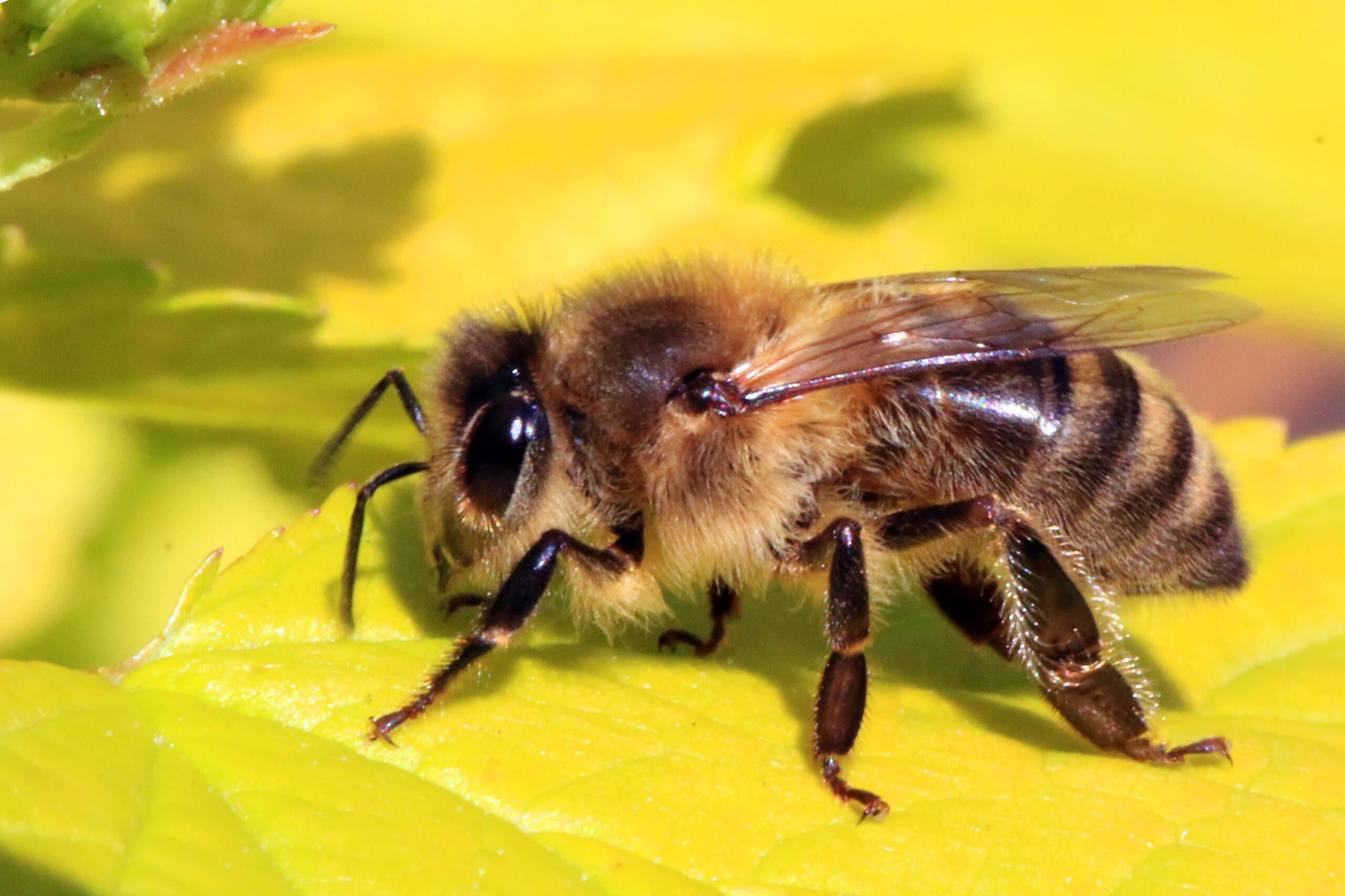 Las abejas están en peligro por su propia pandemia
