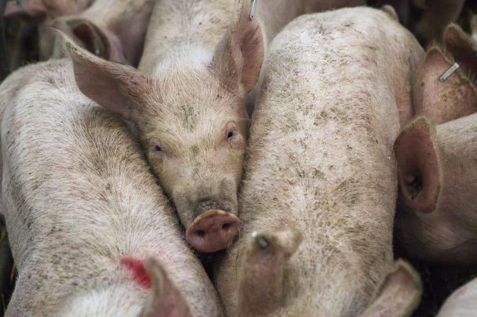 Millones de animales en granjas de EU podrían ser sacrificados con métodos inhumanos