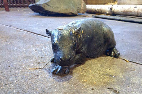 Nace un hipopótamo pigmeo en peligro de extinción