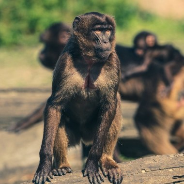 monos-india-robaron-pruebas-covid-19