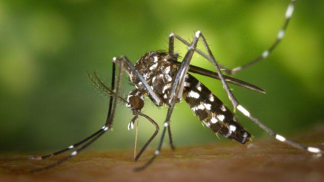 El mosquito tigre, transmisor de virus, podría estar llegando a Europa