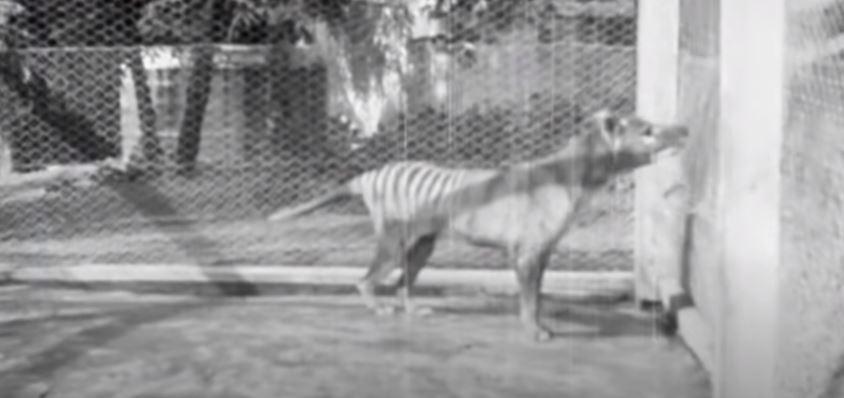 Encuentran video perdido que muestra al extinto tigre de Tasmania