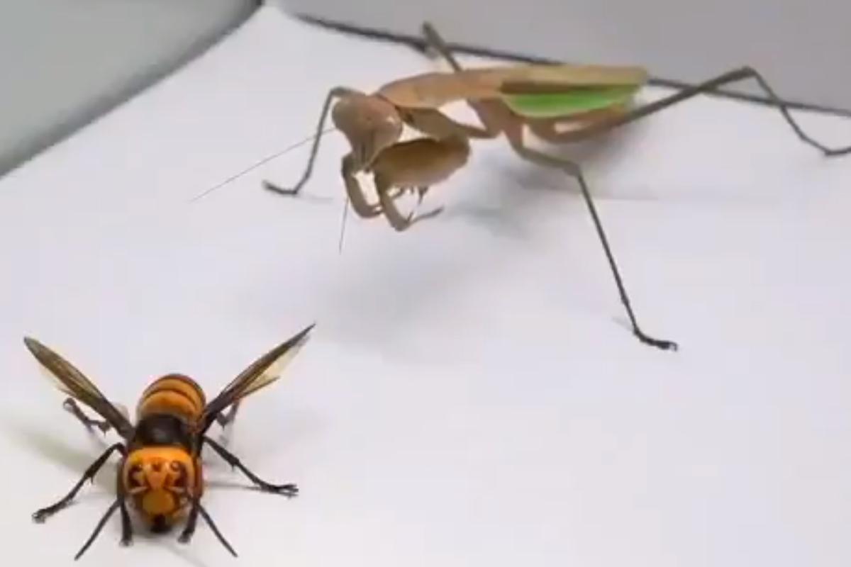 Impactante video muestra a mantis religiosa acabando con una avispa asesina