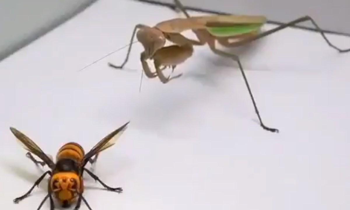 video-pelea-mantis-religiosa-avispon-asesino