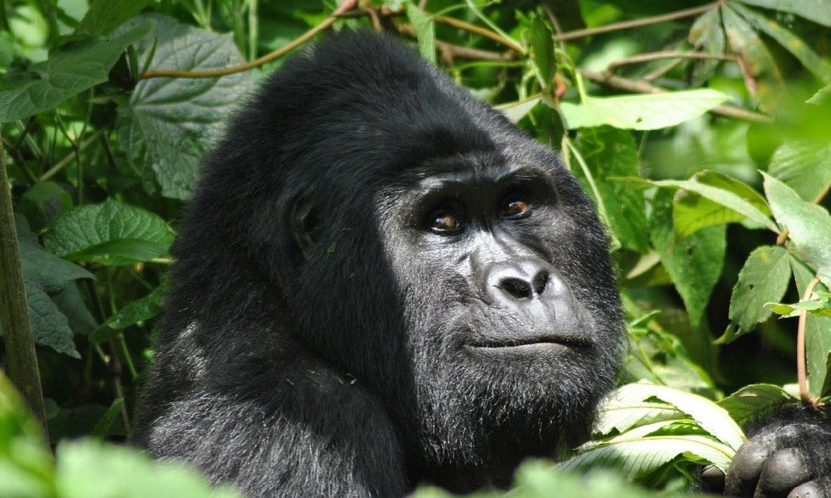 Rafiki, Asesinado, Cazadores Furtivos, Uganda