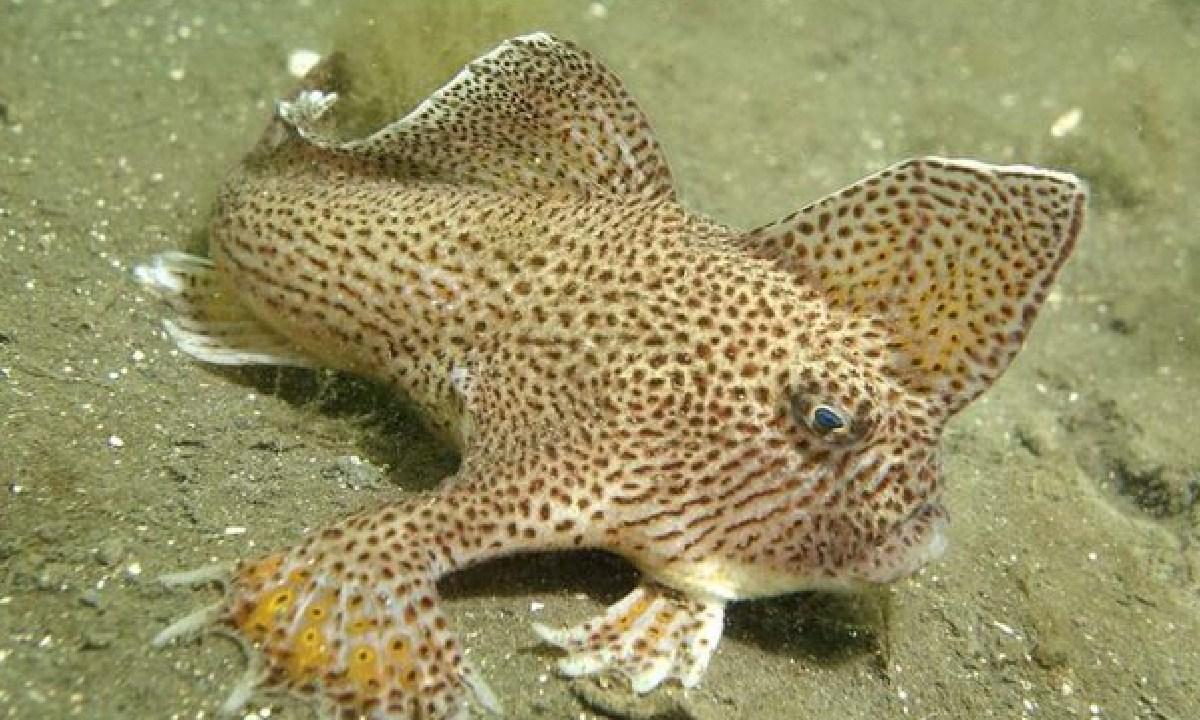 El pez mano liso fue declarado extinto, se trata del primer pez marino moderno en extinguirse