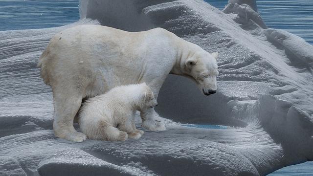 Los osos polares, a menos que hagan con respecto al cambio climático y calentamiento global, podrían extinguirse para 2100