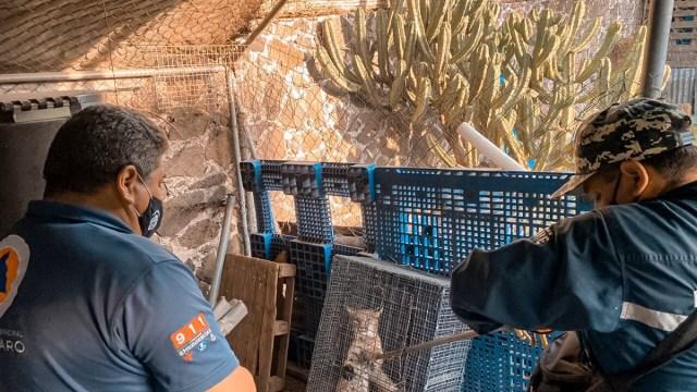 Cachorro de lince rescatado en Querétaro