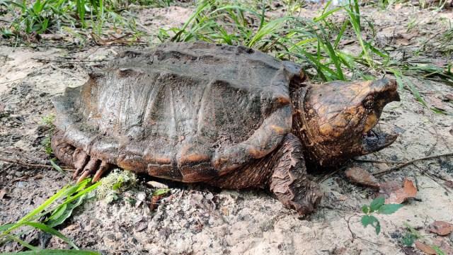 Se trata de un macho y dos hembras de esta tortuga que parece un caimán y tiene aspecto de animal prehistórico