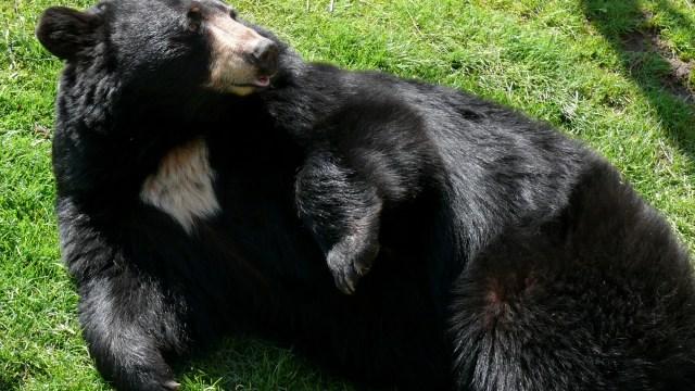 En menos de 48 horas, captan a dos osos más en Nuevo León
