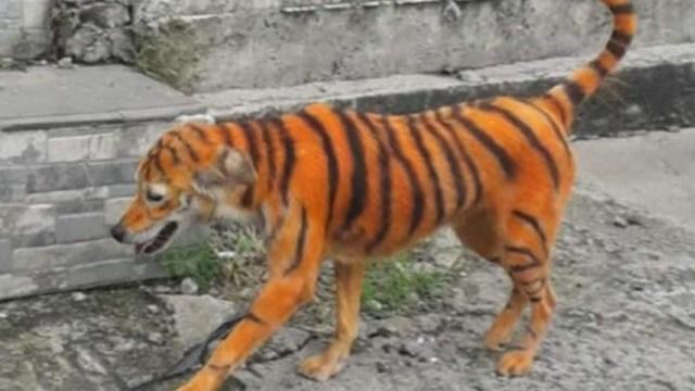 Acusan maltrato animal perrito pintado como tigre