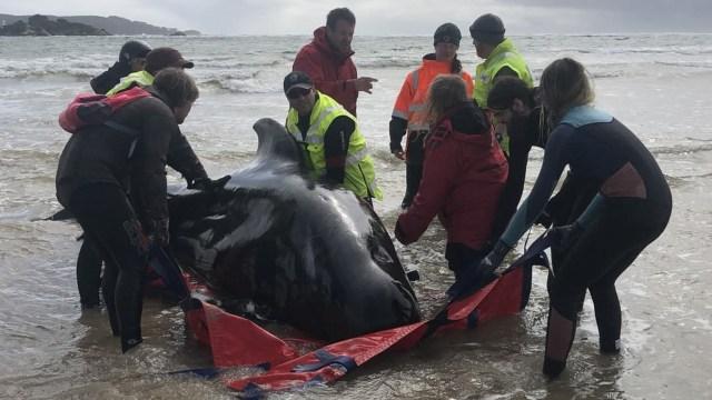Alertan riesgo navegación ballenas muertas Tasmania