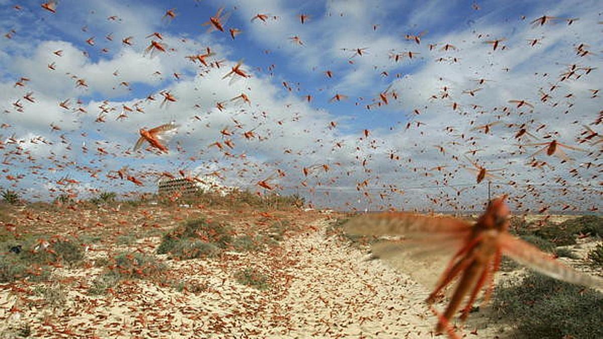 Miles de langostas invaden cultivos 16 ranchos ganaderos 6 municipios Yucatán