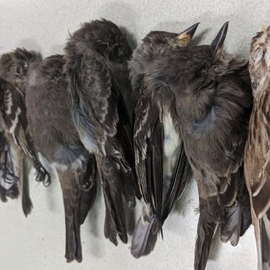 Muertes inexplicables de aves alertan científicos Estados Unidos