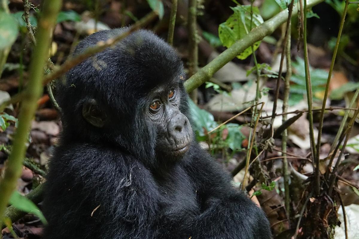 Un parque nacional de Uganda está celebrando el baby boom de los gorilas de montaña, que en gran parte es debe a la pandemia de COVID-19