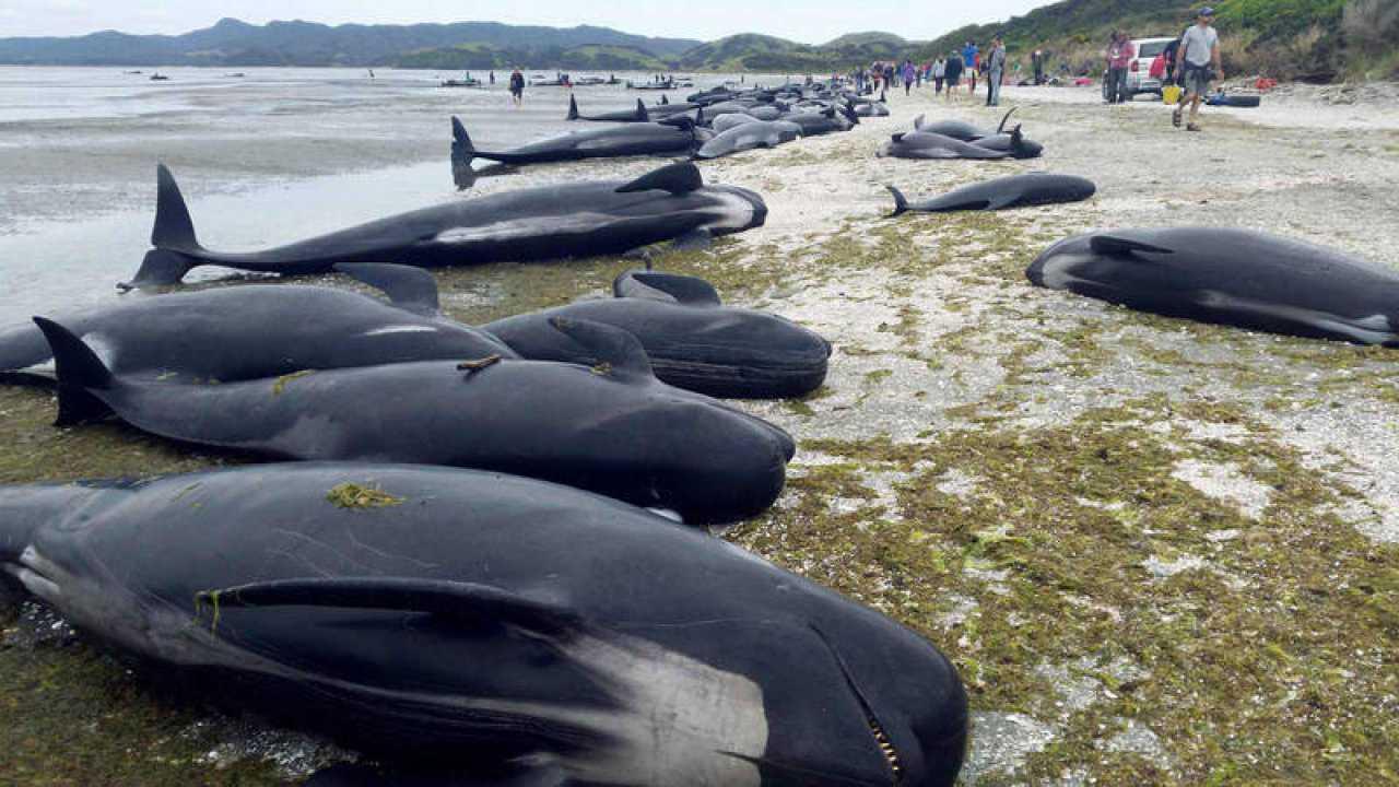 275 ballenas quedan varadas en isla de Tasmania, Australia