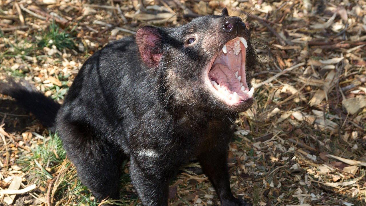 Un programa de conservación ha reintroducido, tres mil años después, un total de 26 demonios de Tasmania en Australia continental