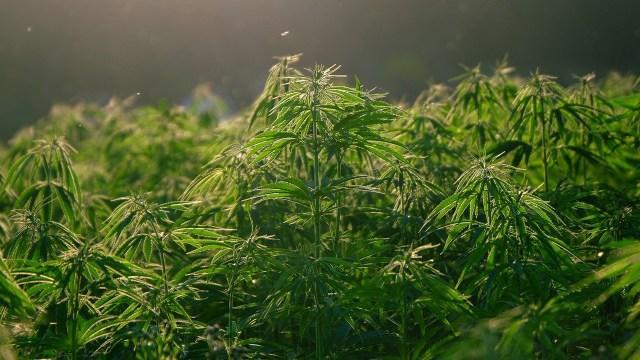 El líder parlamentario de Morena, Mario Delgado, presentó de nuevo la iniciativa para que cultivo, comercio y consumo de marihuana sea legal