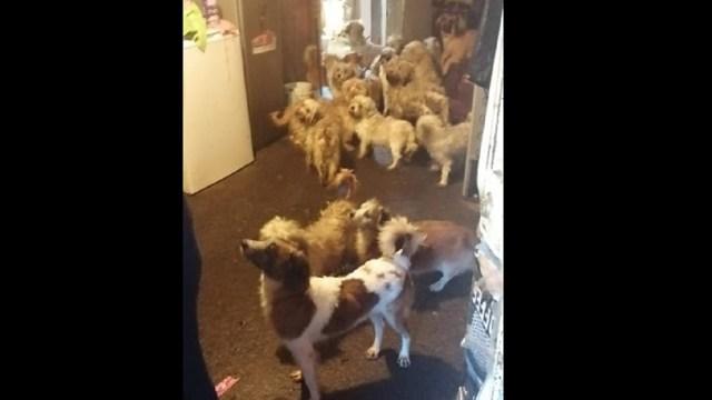 presunto maltrato animal 60 perros Uruapan Michoacán