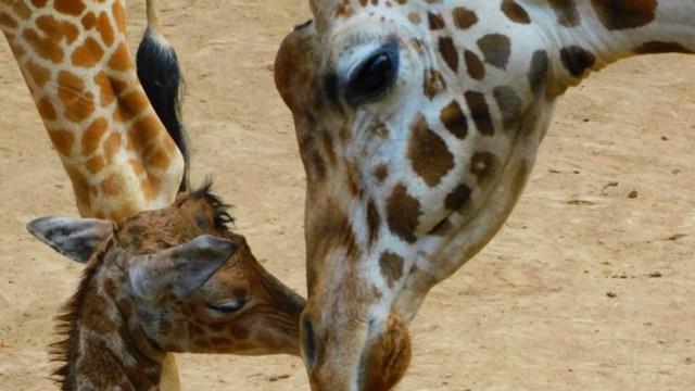 ¡Ya nació! Hay una nueva jirafa en el Zoológico de Chapultepec