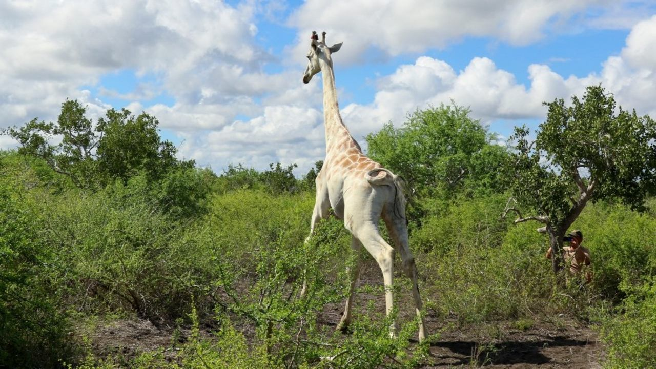 última jirafa blanca dispositivo gps controlarla