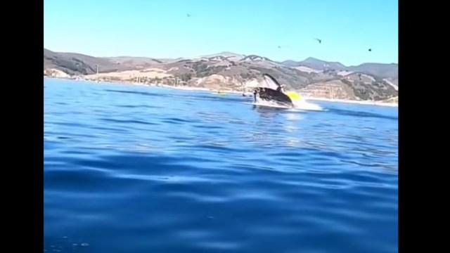 En redes sociales circula un video en el que una ballena salta del agua para tratar de devorar a dos mujeres que iban sobre un kayak