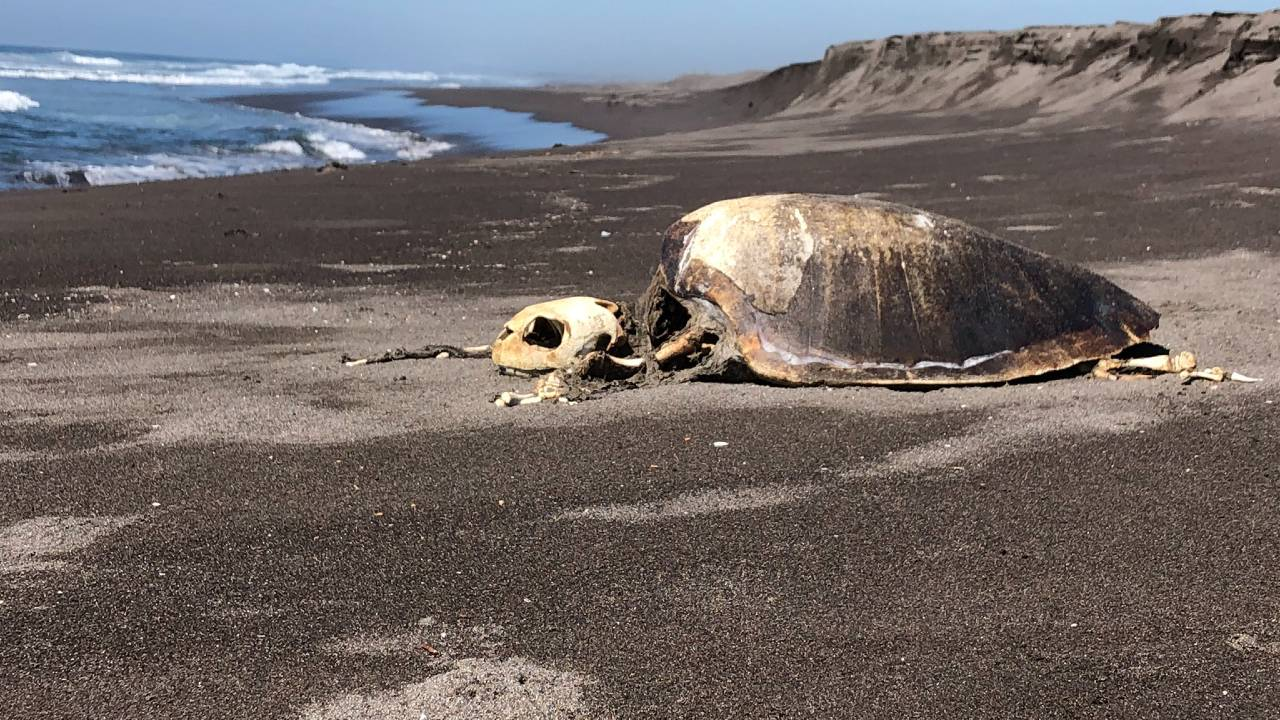 Al menos 100 tortugas muerto playas Colima 2020