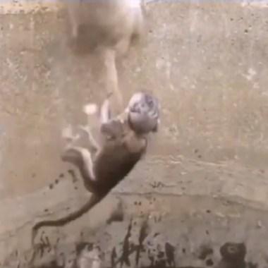mamá mono rescata cría ahogarse pozo