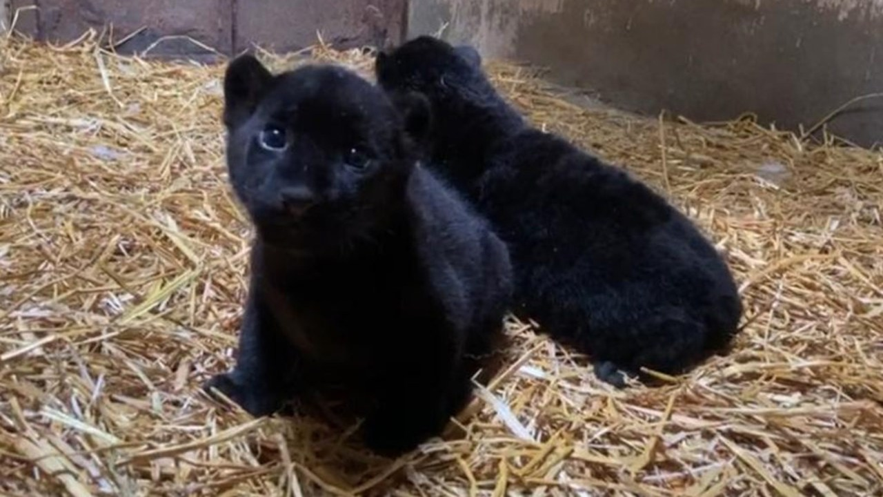 nacen dos jaguares negros zoológico Morelia Michoacán