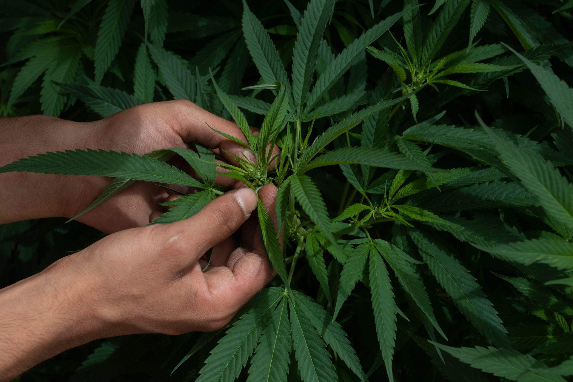 La legalización de la marihuana para fines lúdicos está pendiente