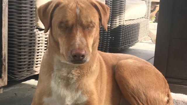 Louis el perro maltratado que busca una nueva familia