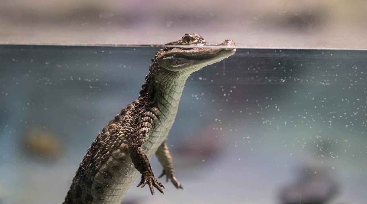 rescate cocodrilos bebé Chiapas