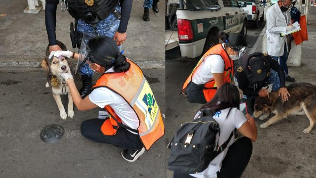 Una perrita que era abusada y maltratada fue rescatada por las autoridades de la Ciudad de México (CDMX) en la alcaldía Cuauhtémoc