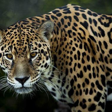En el estado de Karnataka, en la India, un hombre mató a leopardo a mano limpia para defender a su esposa e hija