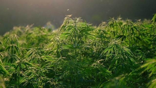 La sequía y la pandemia de COVID-19 habría afectado los cultivos de cannabis, por lo que Jamaica se estaría quedando sin marihuana